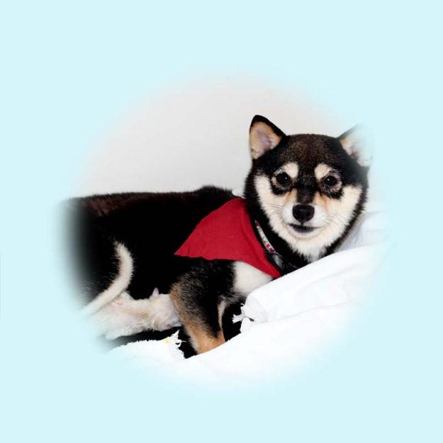 小豆柴母犬 モネちゃん