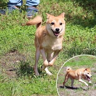 極小豆柴母犬の子犬