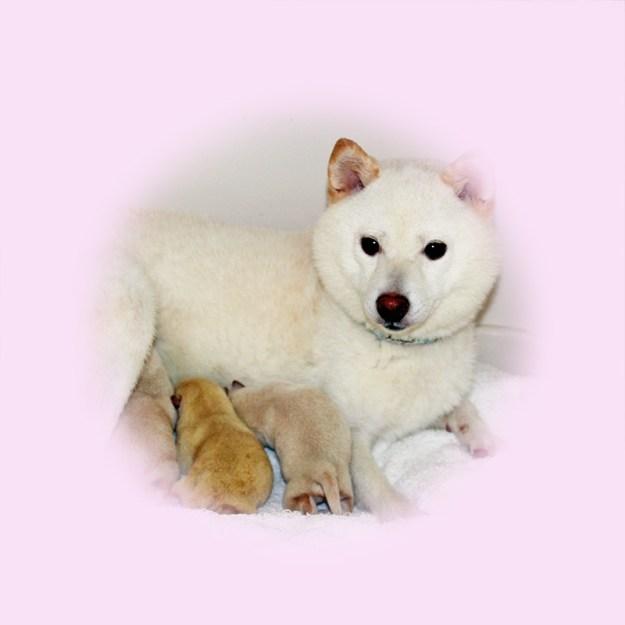 極小豆柴母犬 カヨちゃん