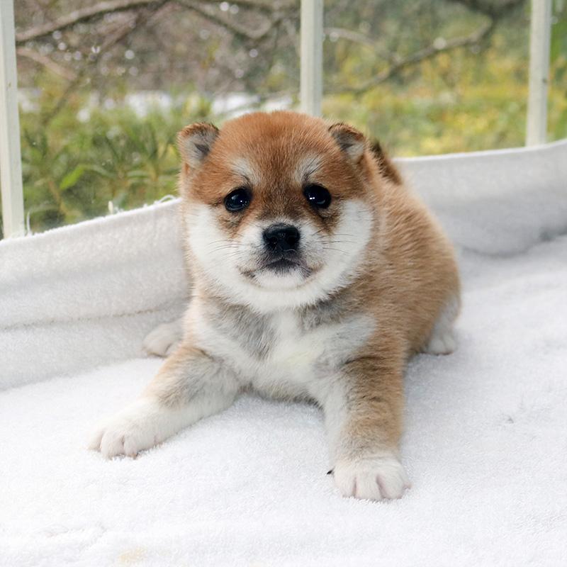 極小豆柴母犬 きくろちゃんの子b