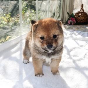 極小豆柴母犬 チハルちゃんb