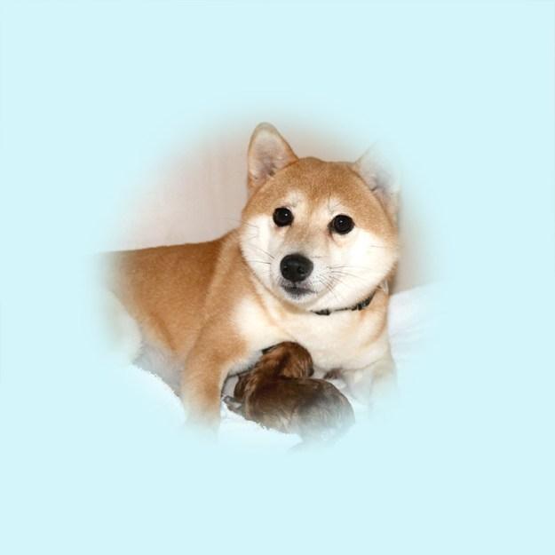 極小豆柴母犬 カコちゃん