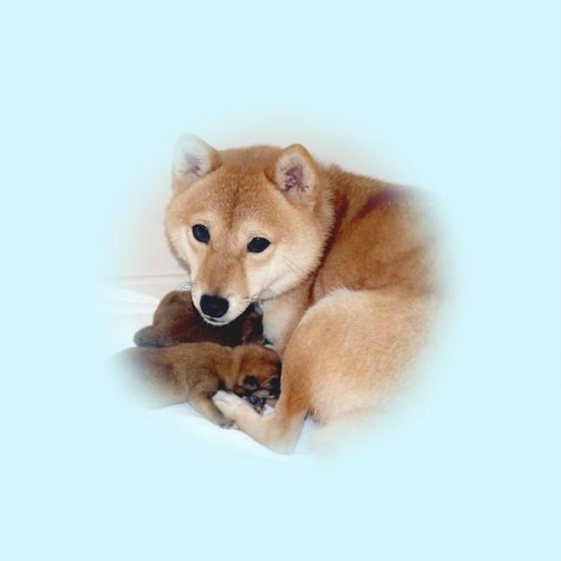 極小豆柴母犬 オフちゃん