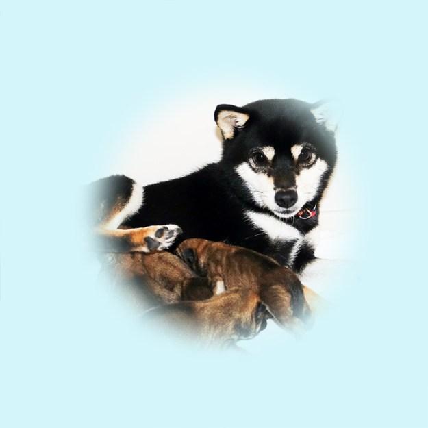 極小豆柴母犬 やはるちゃん