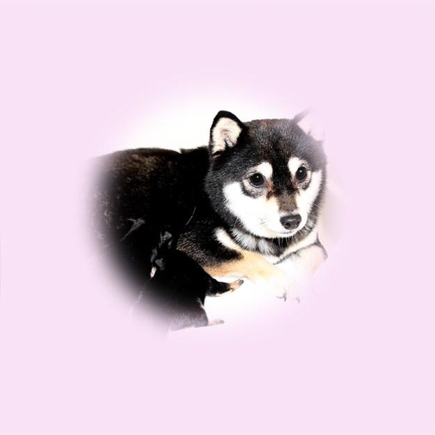 極小豆柴母犬 ベリーちゃん