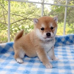 極小豆柴母犬 アコちゃんb