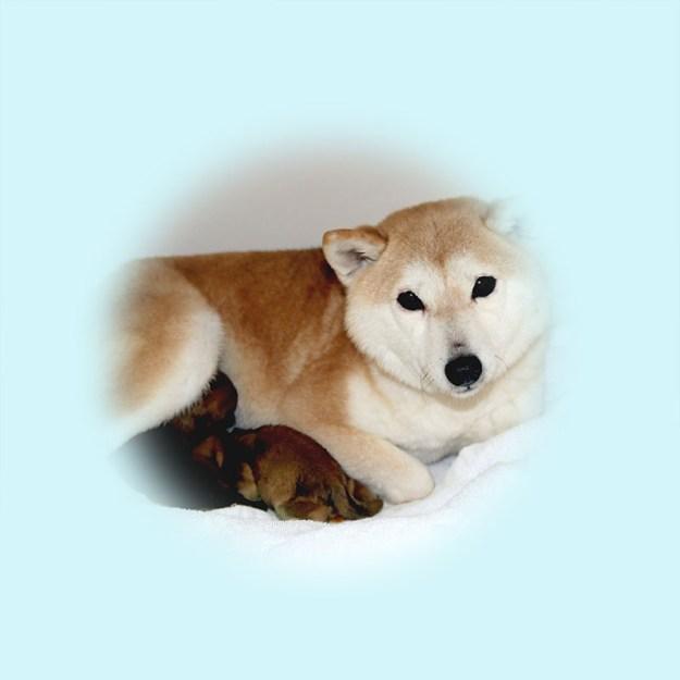 極小豆柴母犬 アコちゃん