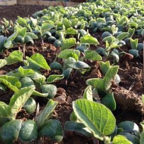 おいしい大豆を育てるにはどうしたら良いのか小学生に解るように教えてください