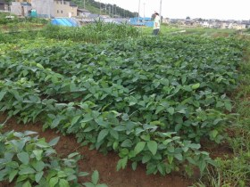 味噌を作るための大豆6キロを収穫するために必要な土地の広さはどのくらい?