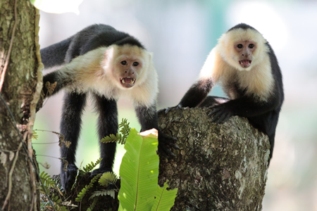 White-faced-Capuchin