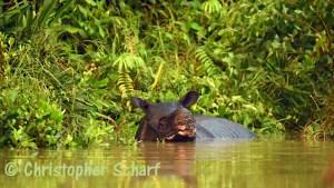 Javan Rhino - Indonesia