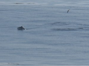 this and the next one are terrible pics but thinking maybe harbor porpoise bc of odd shaped beak