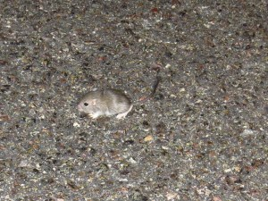 mouse from mojave national preserve (2)