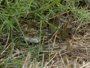 mouse from point vicente palos verdes (2)