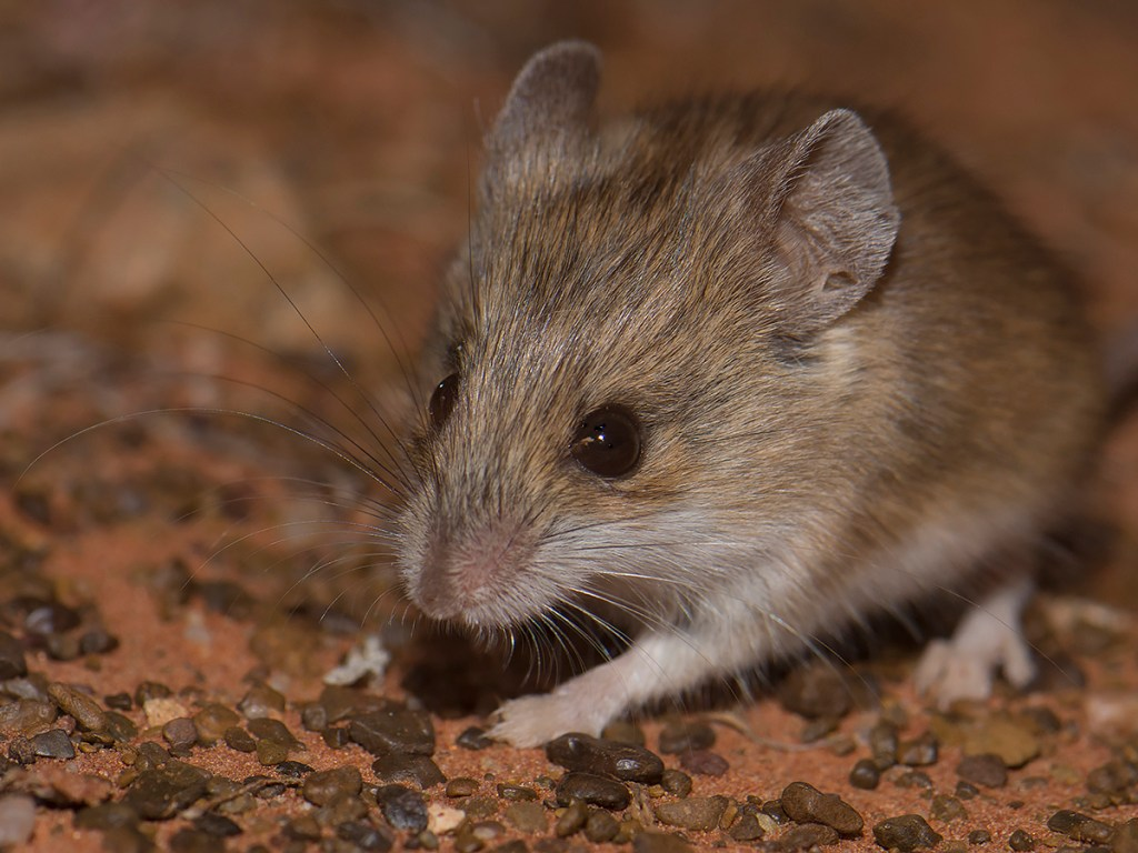 Sandy Inland Mouse - Pseudomys hermannsburgensis