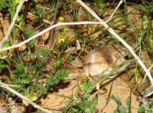 some kind of pocket mouse maybe-desert tortoise natural area (2)
