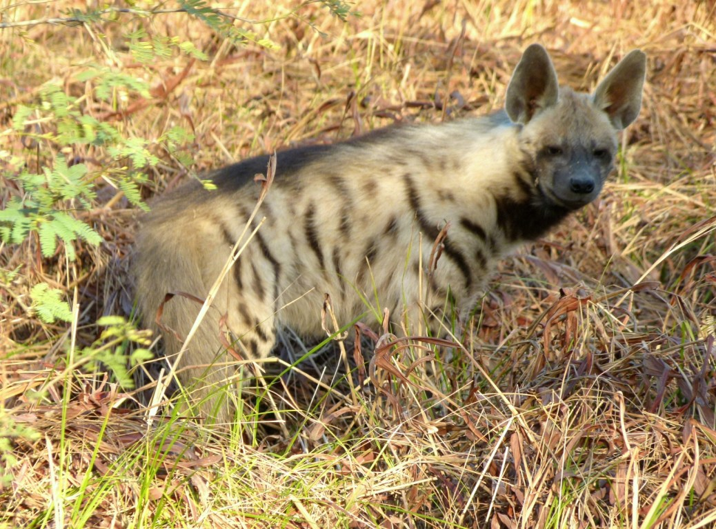 StripedHyena-India3