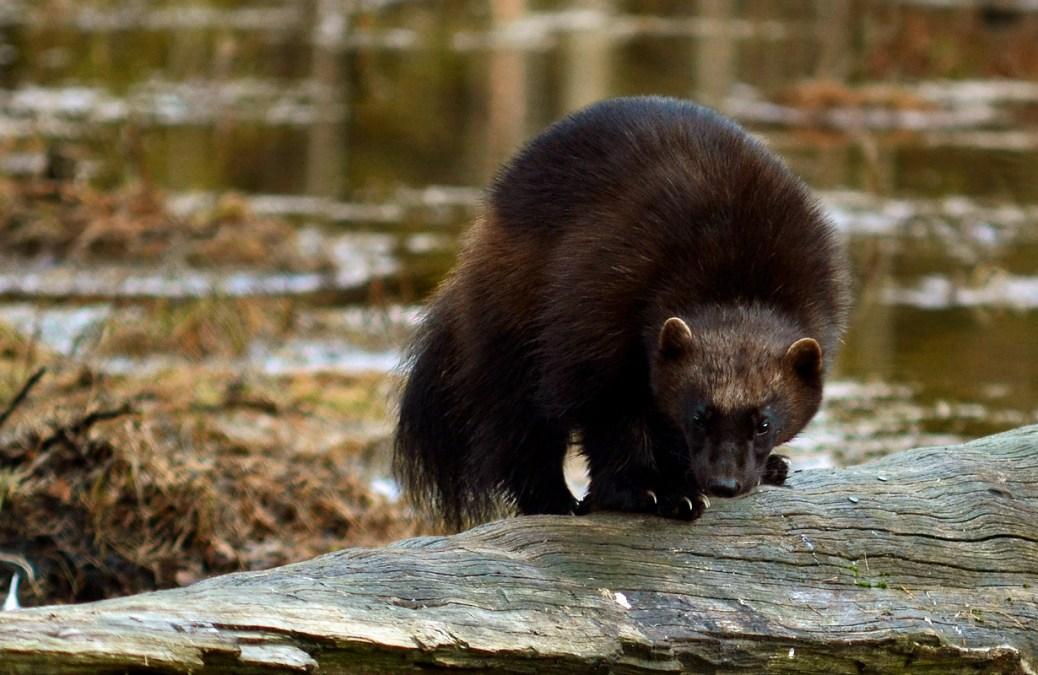 Wolverine-Finland5