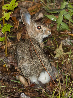 eastern_cottontail-1