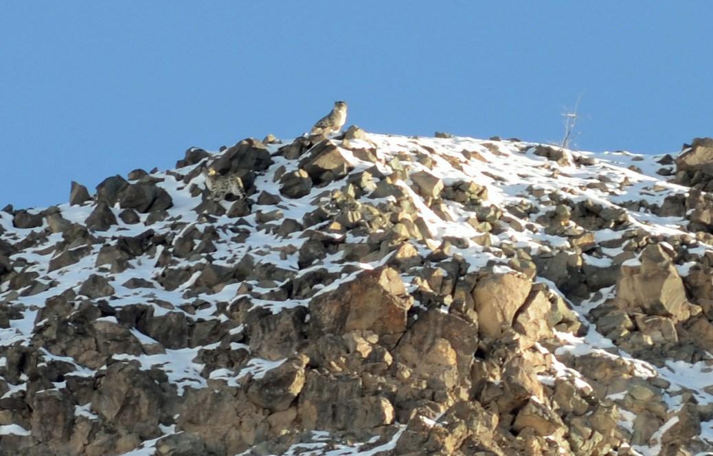 SnowLeopard-India12