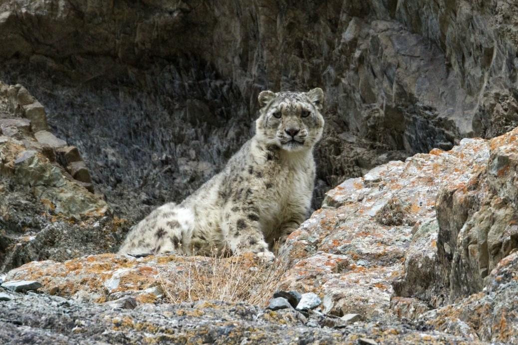SnowLeopard-India3