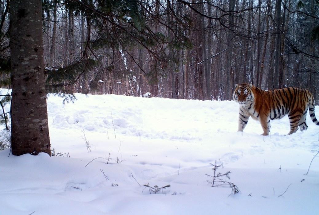 Tiger-Russia