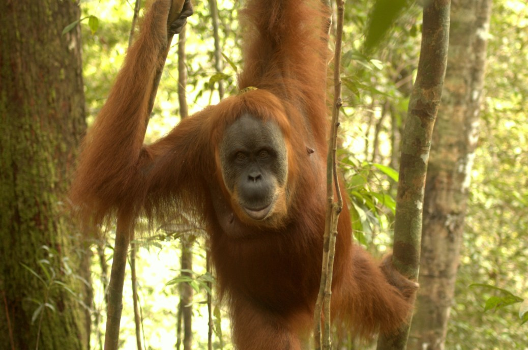 SumatranOrangutan-Indonesia