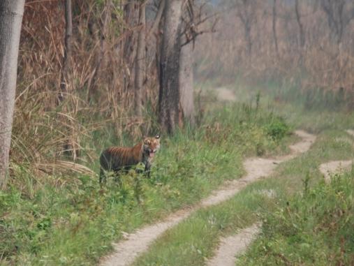 TigersightingNepal1