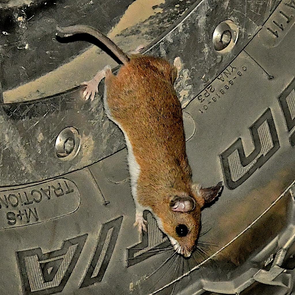 deer_mouse