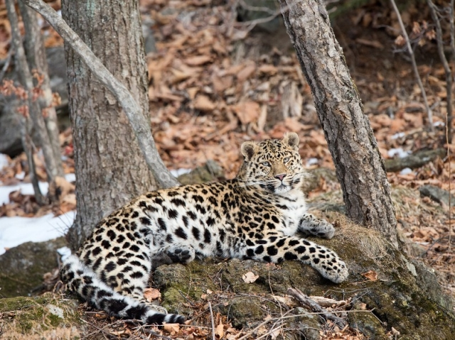 Leopard-Russia3FB