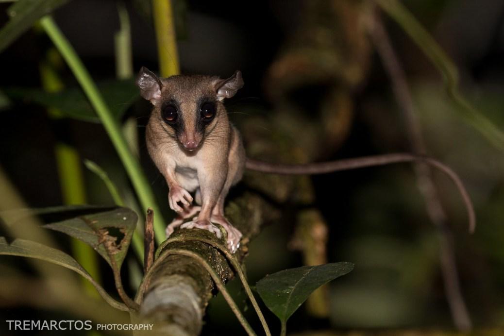 Mouse-Opossum-1