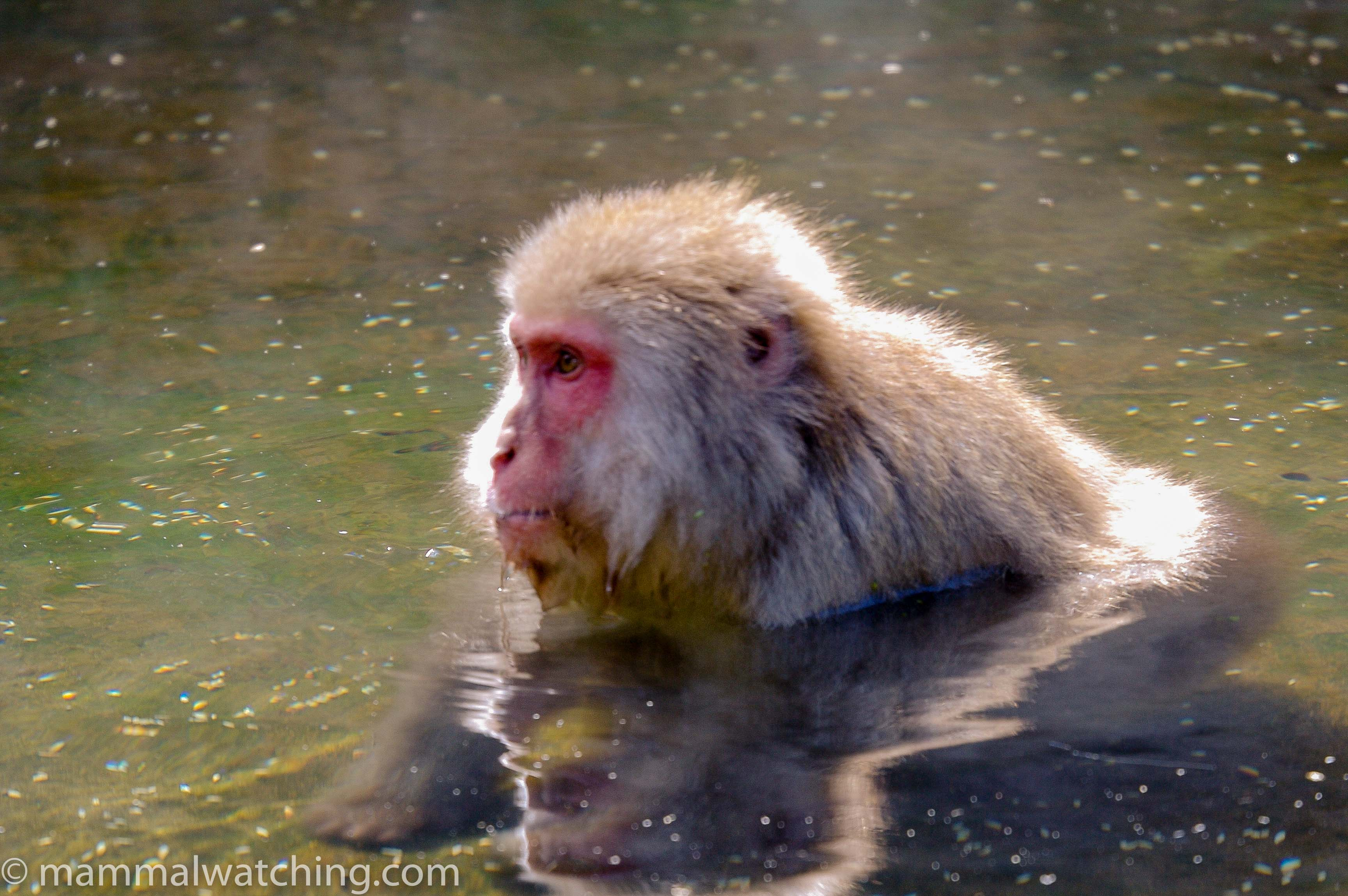 Snow Monkey Or Japanese Macaque, Macaca Fuscata, Group Mammals ...
