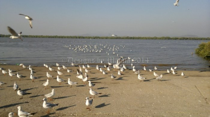Seagulls At Bhayandar East Chowpatty