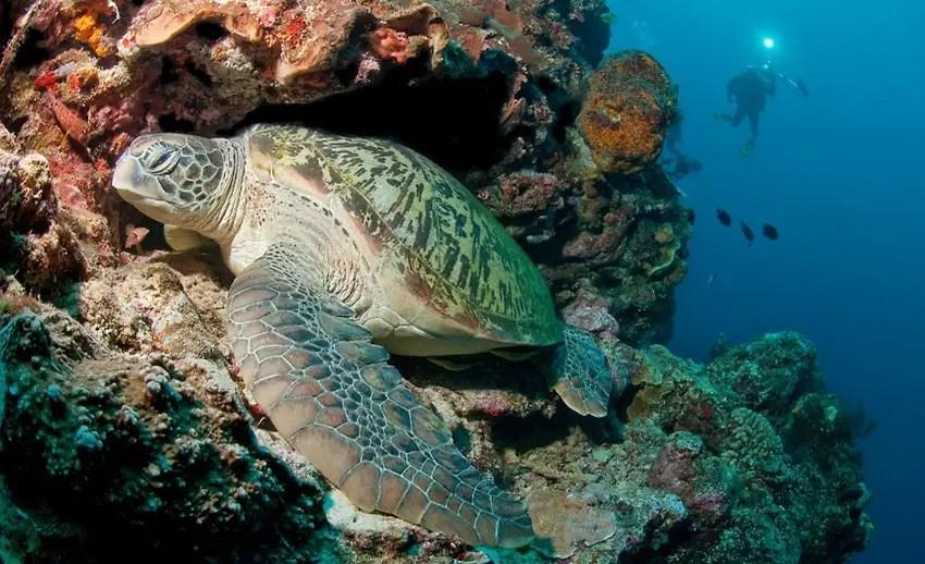 penyu hijau senang berada di underwater great walls bunaken yang tingginya mencapai 50m (by redbubble.com)
