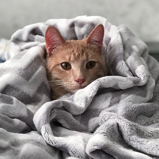 chat dans une couverture