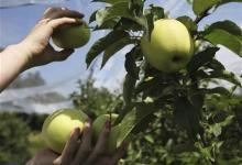 الكيوي افضل من التفاح صحيا