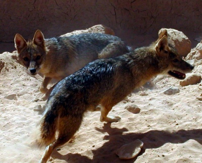 Golden Jackals at Revivim. By Michael Baranovsky. GNU Free Documentation License 1.2