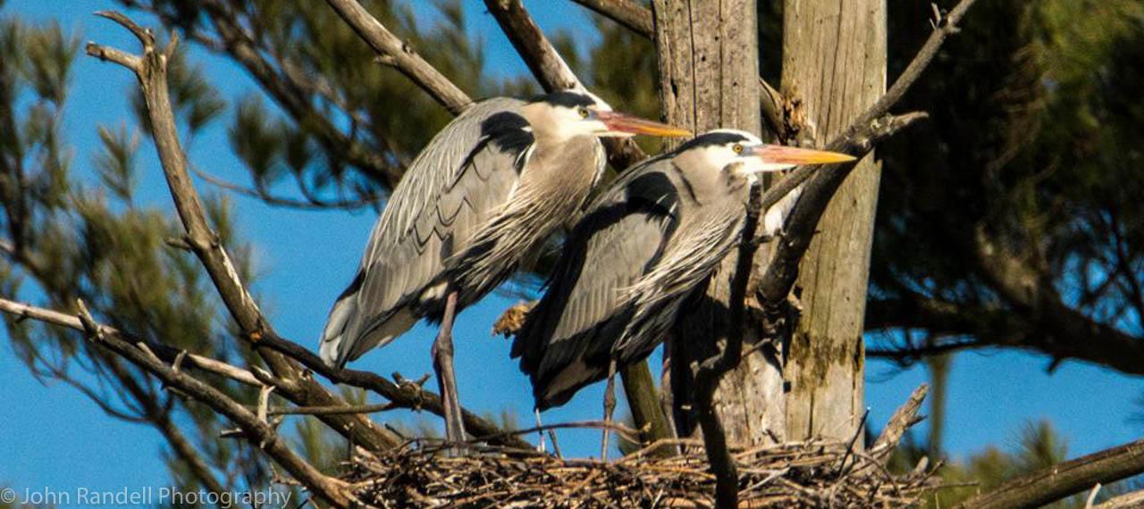 SLIDER Herons in nest 2016 JR