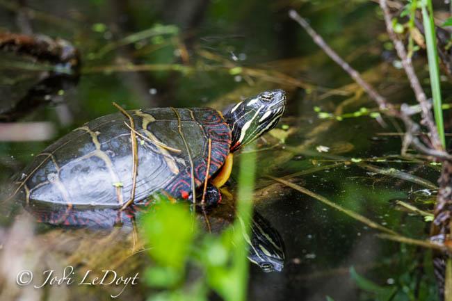 Sun Turtle seeking sun