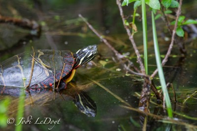 Manchaug Pond Foundation Wildlife