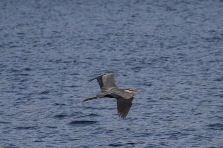 The herons seem to be everywhere on Manchaug Pond!