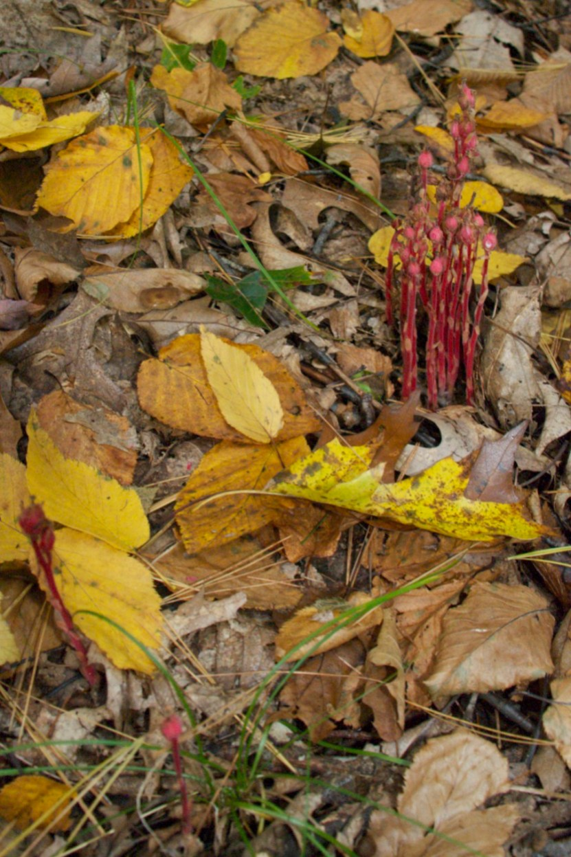 Plants - Indian Pipes