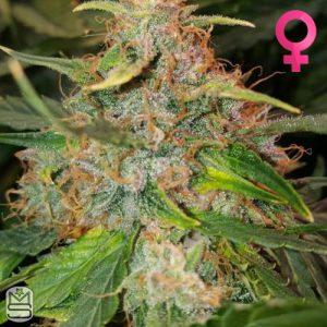 Mephisto Genetics – 3 Bears OG
