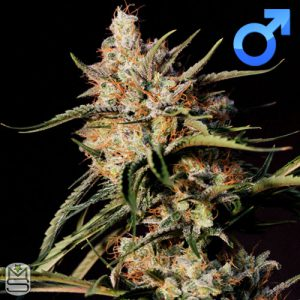 Original Dampkring Genetics – New Jack City
