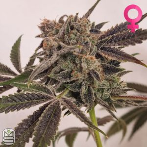 Trichome Jungle Seeds – Tropical Rose