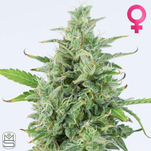 Dinafem Seeds - Auto OG Kush