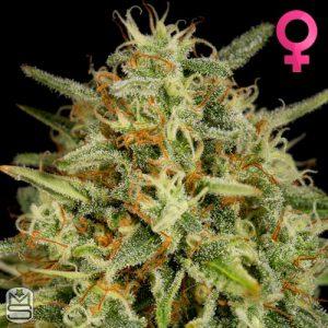 Dinafem Seeds – Strawberry Amnesia