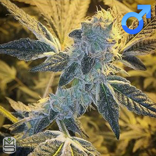 Dirty Water Organic Seeds - Chalet Creme