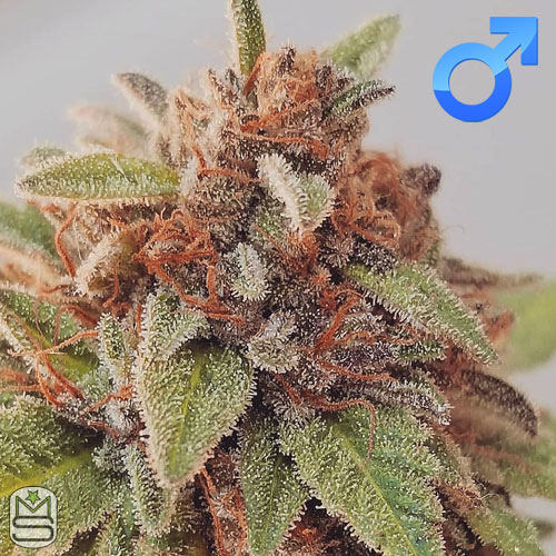 Dirty Water Organic Seeds - M.O.G (Mother Of Grimace)