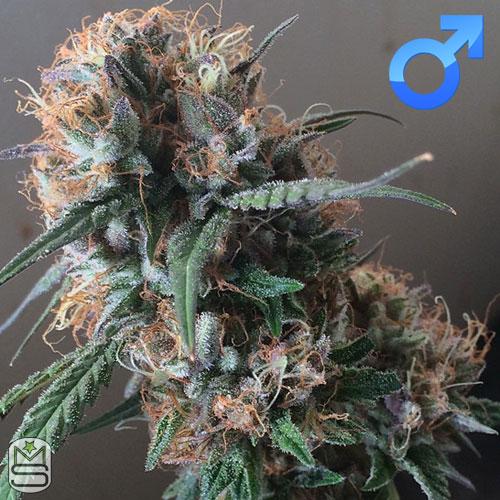 Dirty Water Organic Seeds - Tahoe Kookie OG